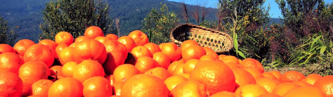 Oranges from Sittong village